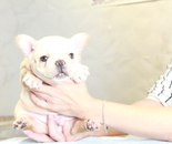 ID:FB883 French Bulldogのイメージ