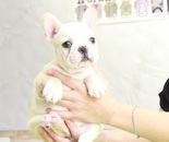 ID:FB895 French Bulldogのイメージ
