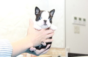 ID:BT254 Boston Terrier
