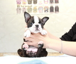 ID:BT256 Boston Terrierのイメージ