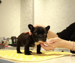 ID:FB898 French Bulldogのイメージ