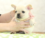 ID:FB899 French Bulldogのイメージ