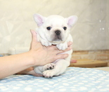 ID:FB900 French Bulldog のイメージ