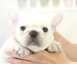ID:FB902 French Bulldog のイメージ