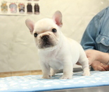 ID:FB901 French Bulldogのイメージ