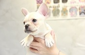 ID:FB890 French Bulldog