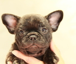 ID:FB892 French Bulldogのイメージ