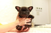 ID:FB892 French Bulldog