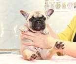 ID:FB893 French Bulldogのイメージ