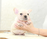 ID:FB907 French Bulldogのイメージ