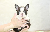 ID:BT260 Boston Terrier