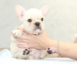 ID:FB905 French Bulldogのイメージ