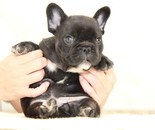 ID:FB906 French Bulldog のイメージ