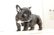 ID:FB906 French Bulldog