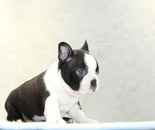 ID:BT262 Boston Terrierのイメージ