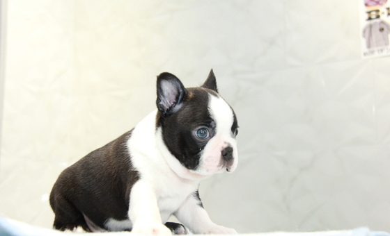 ID:BT262 Boston Terrier