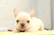 ID:FB908 French Bulldog