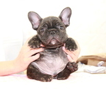 ID:FB911 French Bulldogのイメージ
