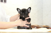 ID:FB913 French Bulldog