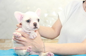 ID:FB904 French Bulldog