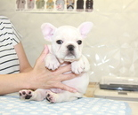 ID:FB915 French Bulldogのイメージ