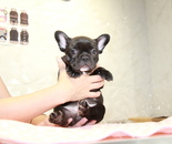 ID:FB916 French Bulldogのイメージ