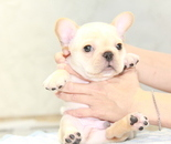 ID:FB917 French Bulldogのイメージ