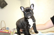 ID:FB918 French Bulldog