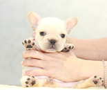 ID:FB920 French Bulldogのイメージ