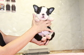 ID:BT270 Boston Terrier