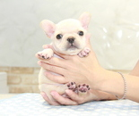ID:FB923 French Bulldogのイメージ
