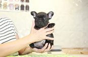 ID:FB922 French Bulldog