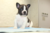 ID:FB927 French Bulldog