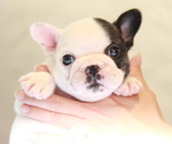 ID:FB929 French Bulldogのイメージ
