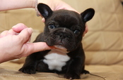 ID:FB937 French Bulldog