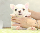 ID:FB1077 French Bulldogのイメージ
