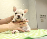 ID:FB1078 French Bulldogのイメージ