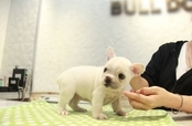 ID:FB1078 French Bulldog