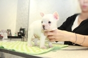 ID:FB1079 French Bulldog