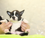 ID:BT306 Boston Terrier のイメージ