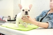 ID:FB1064 French Bulldog