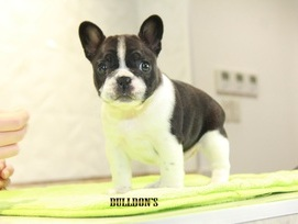 ID:FB1089 French Bulldog