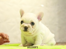 ID:FB1090 French Bulldog