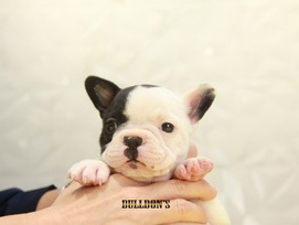 ID:FB1073 French Bulldog
