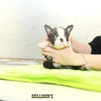 ID:BT316 Boston Terrier  のイメージ