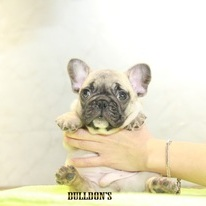 ID:FB1094 French Bulldog のイメージ