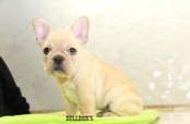 ID:FB1096 French Bulldog