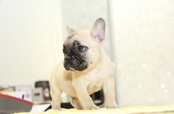 ID:FB978 French Bulldog