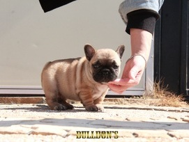 ID:FB1000 French Bulldog