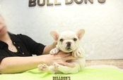 ID:FB1085 French Bulldog